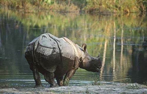 Baghmara Resort, Rhino